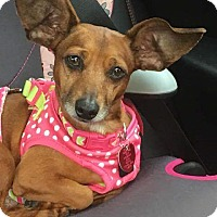 Adopt A Pet :: Maeve - Andalusia, PA
