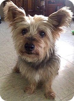 Yorkie, Yorkshire Terrier Dog for adoption in Staten Island, New York - Paquito