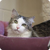 Domestic Longhair Cat for adoption in South Haven, Michigan - Sunshine