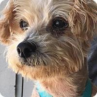 Adopt A Pet :: Cleo - Studio City, CA