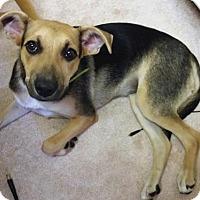 German Shepherd Dog Mix Dog for adoption in Westwood, New Jersey - Iris