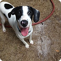 Pointer/English Pointer Mix Dog for adoption in Groveland, Florida - Rio