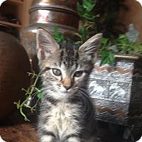 Domestic Shorthair Kitten for adoption in Tampa, Florida - Ellie