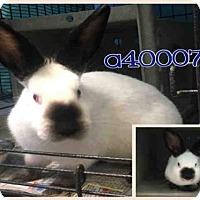 Adopt A Pet :: BUGGS - San Antonio, TX