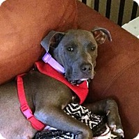 Pit Bull Terrier Mix Dog for adoption in Boca Raton, Florida - BlueBelle