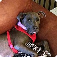 Adopt A Pet :: BlueBelle - Boca Raton, FL