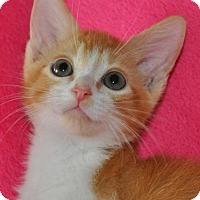 Domestic Mediumhair Kitten for adoption in Mesa, Arizona - Ready