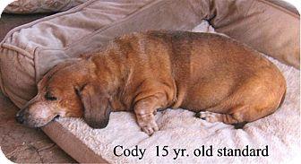 Dachshund Dog for adoption in Tucson, Arizona - Cody