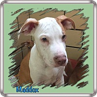 Terrier (Unknown Type, Medium) Mix Puppy for adoption in Jerseyville, Illinois - Maddox