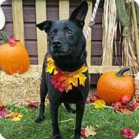 Chow Chow/Labrador Retriever Mix Dog for adoption in Ashtabula, Ohio - Niner