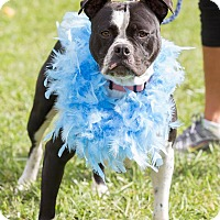 American Bulldog Mix Dog for adoption in Laingsburg, Michigan - Sadie