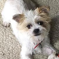 Adopt A Pet :: WON TON - Anaheim Hills, CA