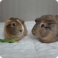 Guinea Pig for adoption in Pine Bush, New York - Pumpkin and Spike