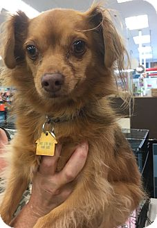 Pomeranian Mix Dog for adoption in Tucson, Arizona - Jake