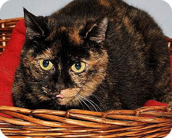 Domestic Shorthair Cat for adoption in Gatineau, Quebec - Polly