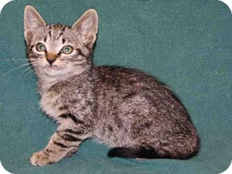 Domestic Mediumhair Kitten for adoption in Hanford, California - *ROCKY