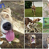 Pit Bull Terrier/Staffordshire Bull Terrier Mix Dog for adoption in Orlando, Florida - Akin