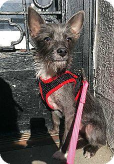 Yorkie, Yorkshire Terrier/Chihuahua Mix Puppy for adoption in New York, New York - Vikkie!