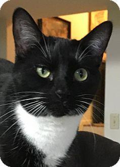 Domestic Shorthair Cat for adoption in O'Fallon, Missouri - Piper
