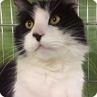 Adopt A Pet :: Hans-Long Hair Polydactyl - Devon, PA