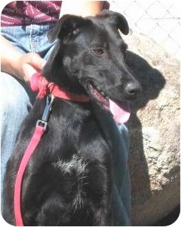 Labrador Retriever Mix Dog for adoption in Yerington, Nevada - Josie