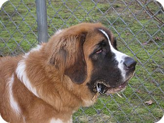 St. Bernard Dog for adoption in Sudbury, Massachusetts - JEWEL
