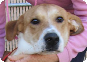 Foxhound/Hound (Unknown Type) Mix Dog for adoption in Lincolnton, North Carolina - Louie