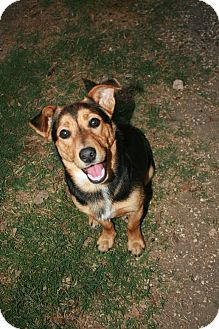 Corgi Mix Dog for adoption in san antonio, Texas - Carlton