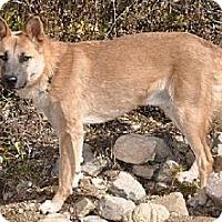 German Shepherd Dog Mix Dog for adoption in Newport Beach, California - Wyoming