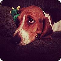 Adopt A Pet :: Callie - Hancock, MI