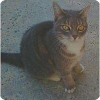 Adopt A Pet :: Pancake - Los Alamitos, CA