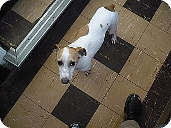 Jack Russell Terrier Dog for adoption in Wisconsin Dells, Wisconsin - Blake