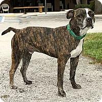 Adopt A Pet :: ponic - Jupiter, FL