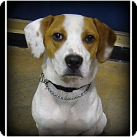 Adopt A Pet :: Beau - Indian Trail, NC