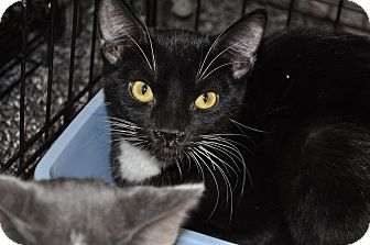 Domestic Shorthair Cat for adoption in La Canada Flintridge, California - Merry