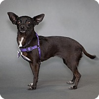 Adopt A Pet :: Shellie - Thousand Oaks, CA