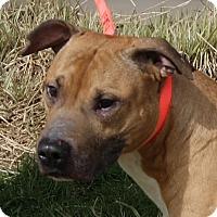 Pit Bull Terrier/Boxer Mix Dog for adoption in Monroe, Michigan - Dante