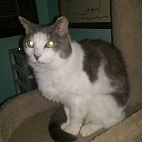 Domestic Shorthair Cat for adoption in Cincinnati, Ohio - Aubrey