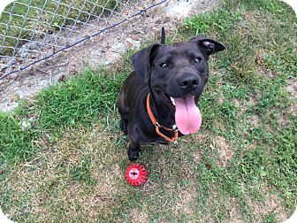 Pit Bull Terrier/Labrador Retriever Mix Dog for adoption in Salem, Ohio - sasha