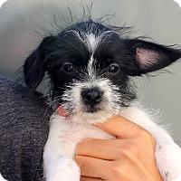 Adopt A Pet :: Tapatio - tiny! - Los Angeles, CA