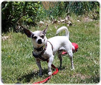 Chihuahua Mix Dog for adoption in Welland, Ontario - Jackie Chan