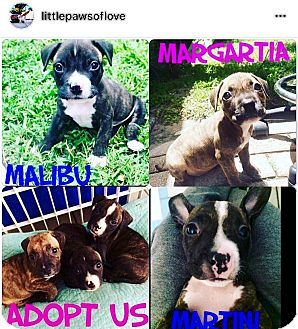 American Staffordshire Terrier/Boxer Mix Puppy for adoption in Boca Raton, Florida - Martini
