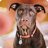 Adopt A Pet :: Hershey - Portland, OR