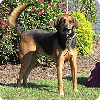 Coonhound Mix Dog for adoption in Windsor, Virginia - Coors