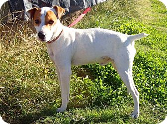 Jack Russell Terrier Dog for adoption in Dallas/Ft. Worth, Texas - Carter in Dallas