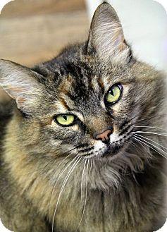 Domestic Mediumhair Cat for adoption in Portland, Oregon - Coretta