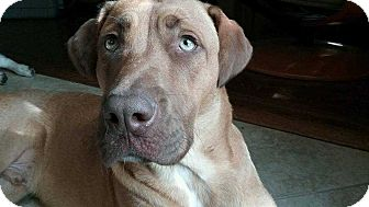 Hound (Unknown Type) Mix Dog for adoption in Allen, Texas - Albany