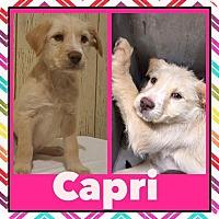 Adopt A Pet :: Capri - New Milford, CT