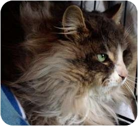 Domestic Longhair Cat for adoption in Markham, Ontario - Benjamin