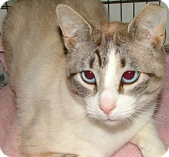 Siamese Cat for adoption in Chattanooga, Tennessee - Odin